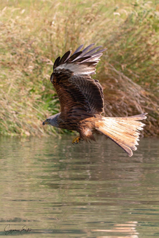 red kite-3.jpg