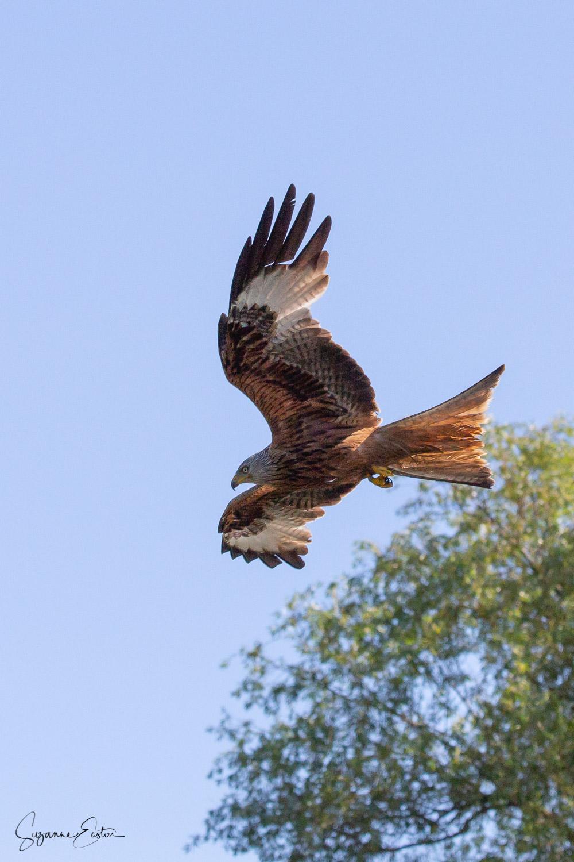 red kite-5.jpg