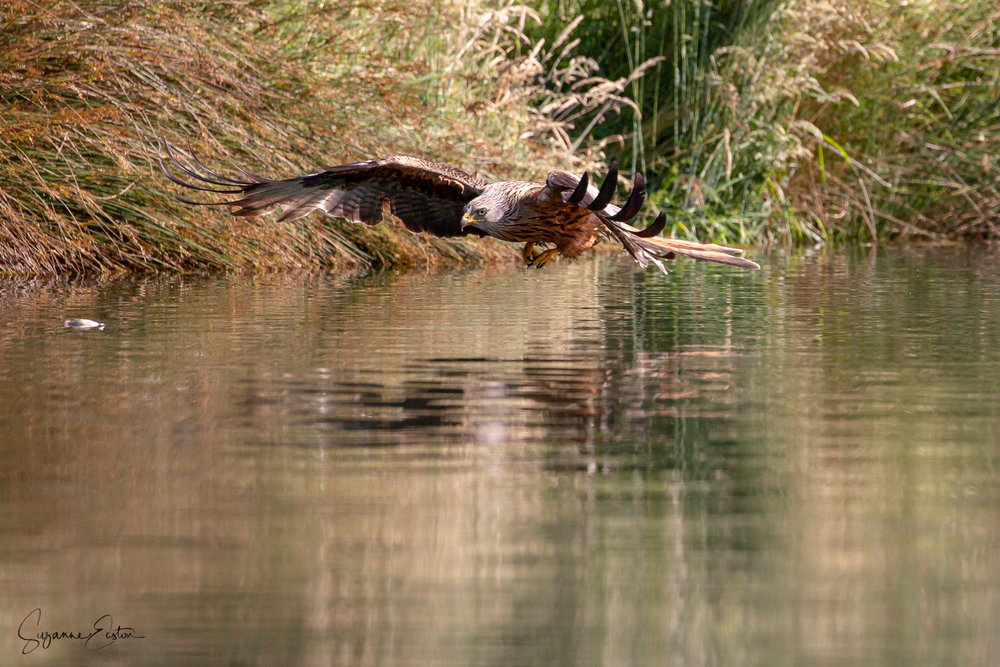 red kite trout-4.jpg