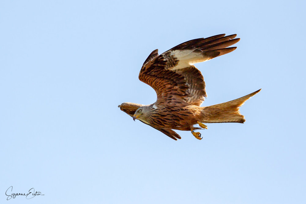 red kite trout.jpg