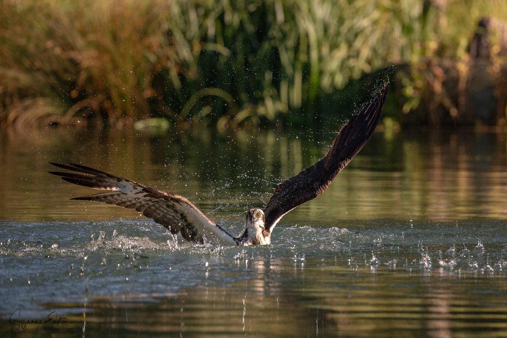 osprey dive-2.jpg
