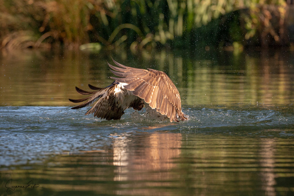 osprey dive-3.jpg