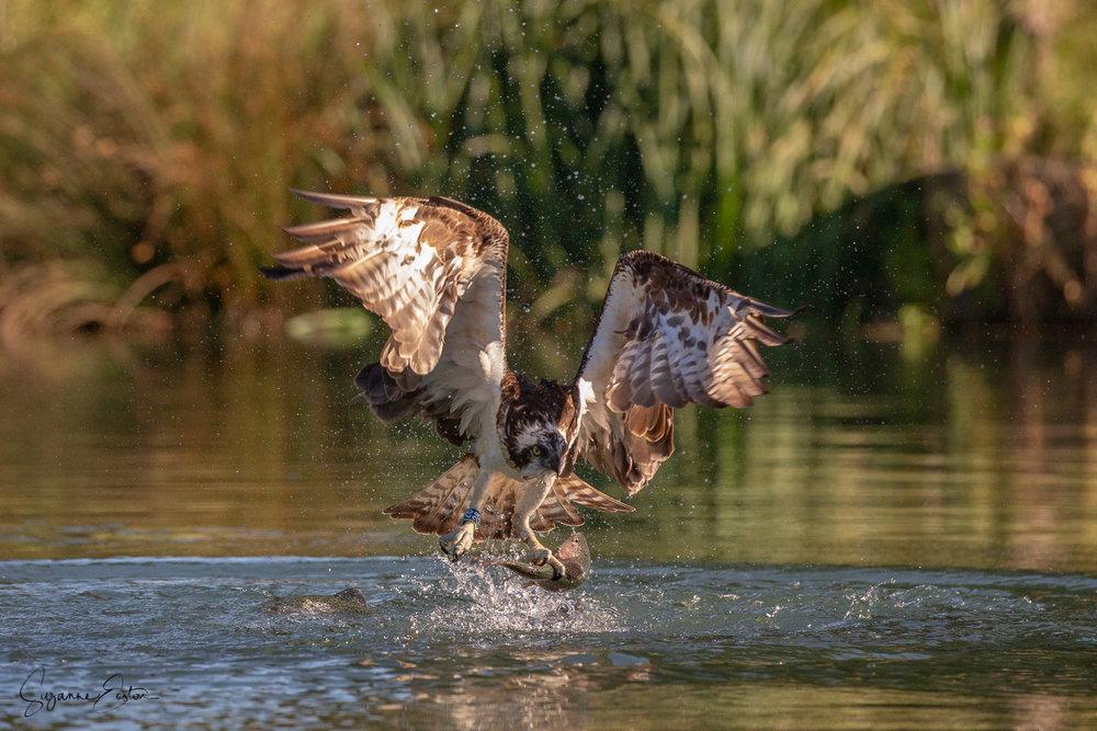 osprey dive-5.jpg
