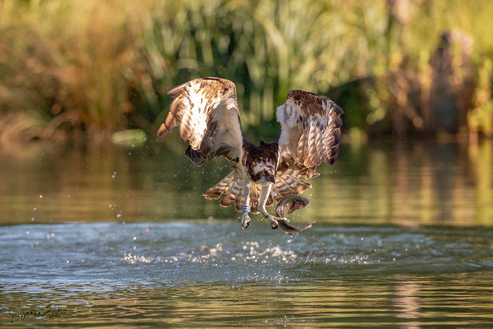 osprey dive-7.jpg