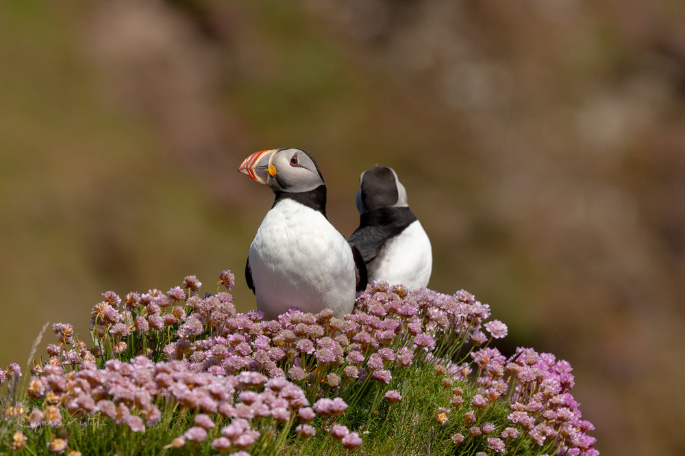 Puffins sit back to back at Sumburgh Head on Shetland