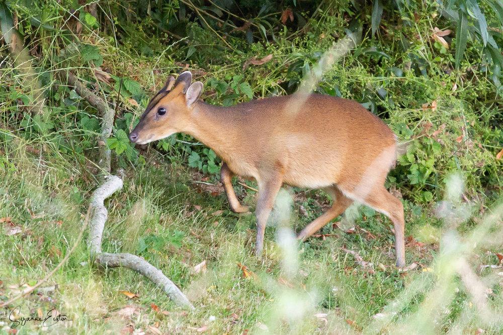 Female muntjac deer