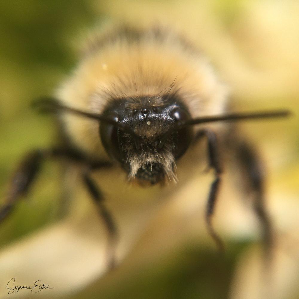 A bee taken using an iphone