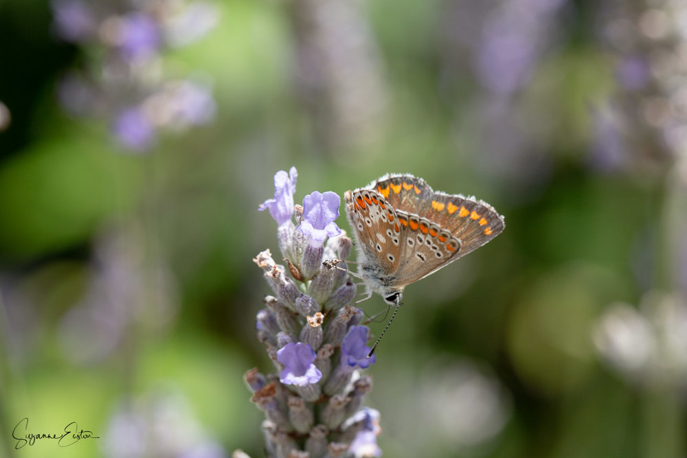 Brown argus butterfly on lavender