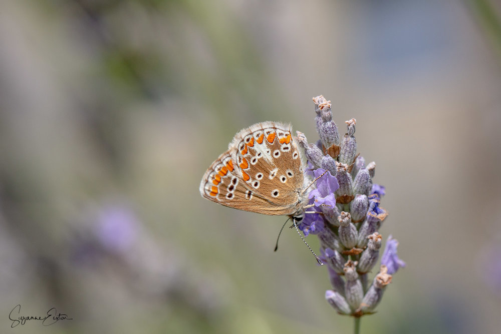 Brown argus butterfly somerset UK