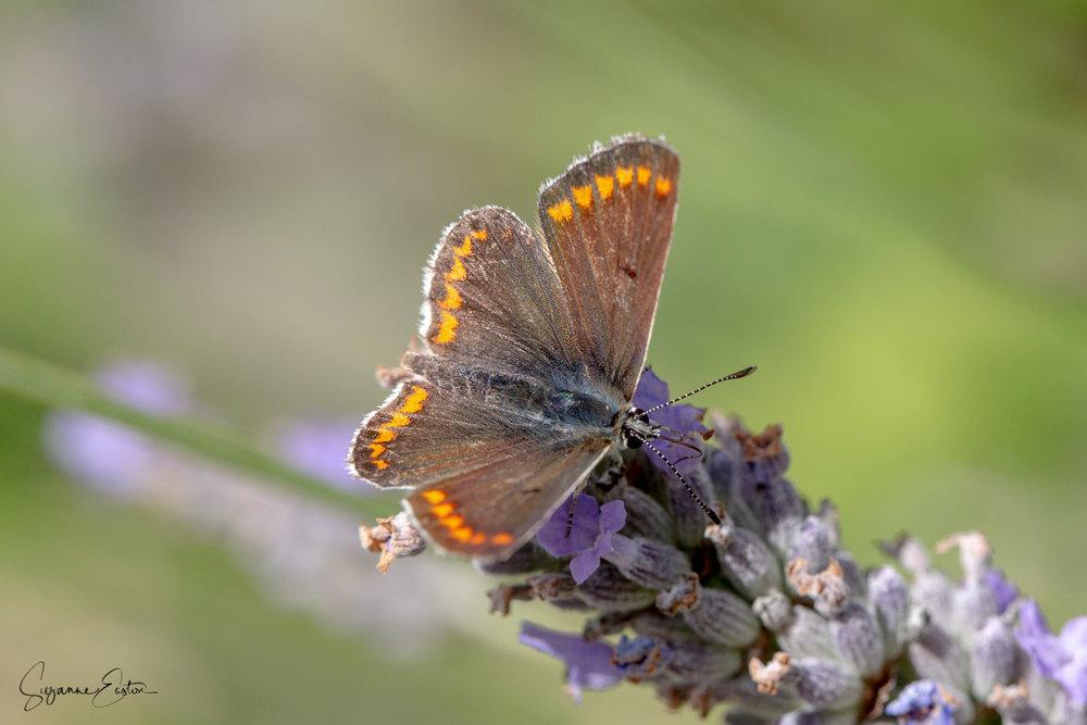 Brown argus butterfly basking on lavender
