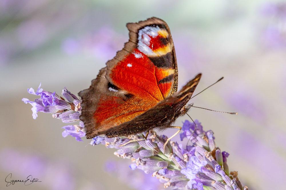lavender butterfly-3.jpg