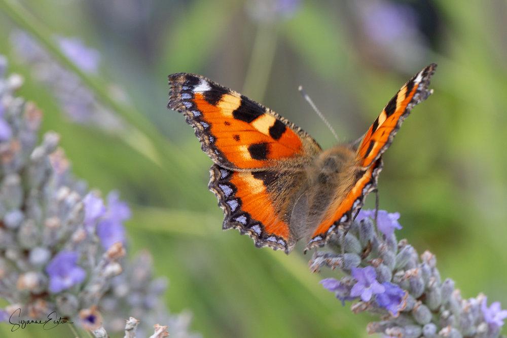 lavender butterfly-8.jpg