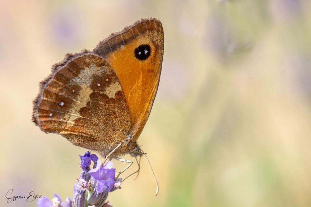 lavender butterfly-2.jpg