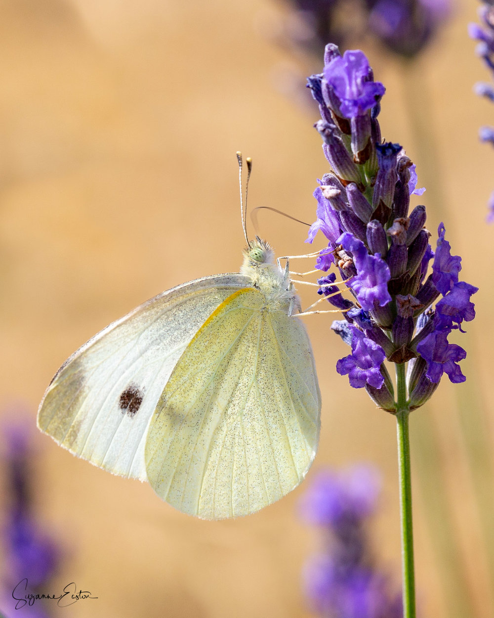 lavender butterfly-10.jpg