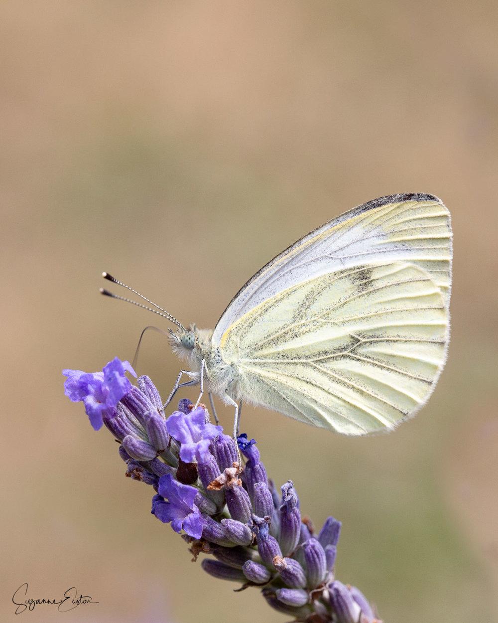 lavender butterfly-12.jpg