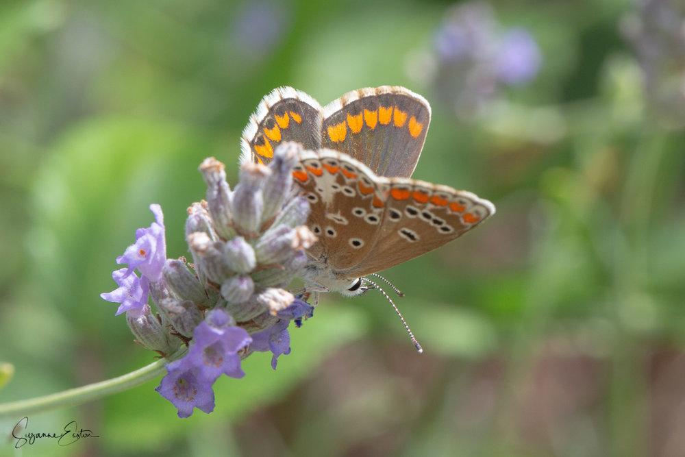 lavender butterfly-13.jpg