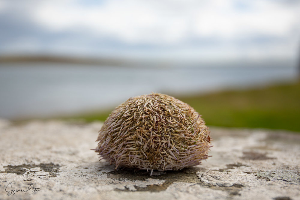 This urchin was found on a sea wall, cleaned by a predator and abandoned. Cleaned up it became the coloured beauty below.