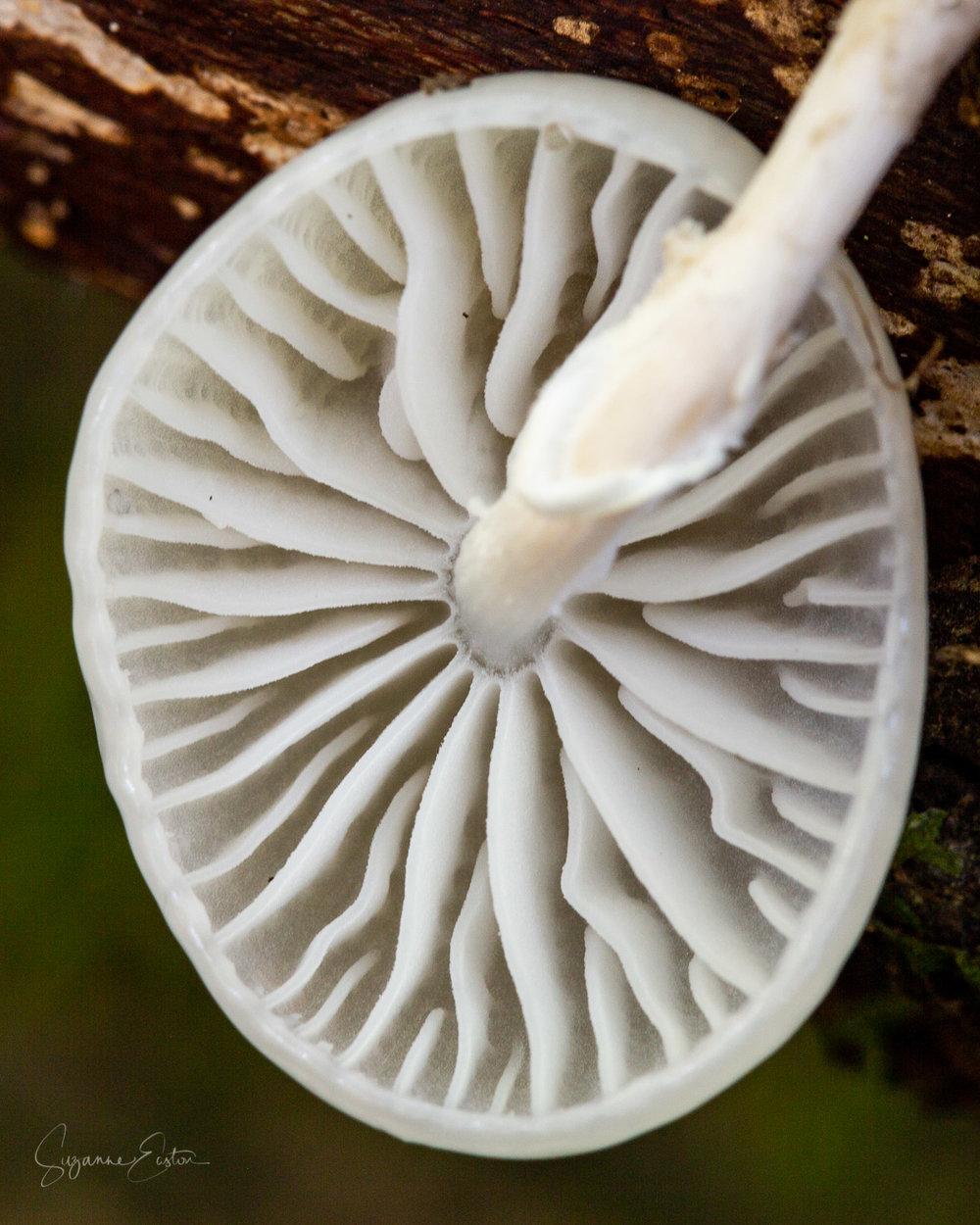 porcelain fungi.jpg