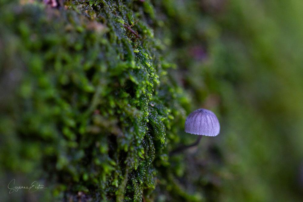 Mycena pseudocorticola blue mushroom with an umbrella cap growing on moss
