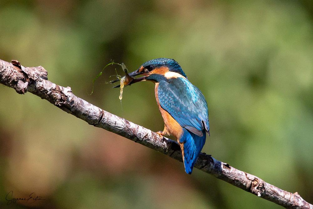 kingfisher-9.jpg