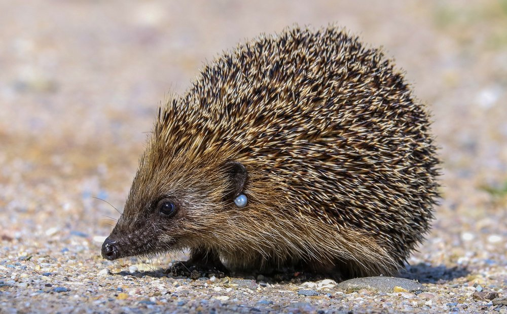 Hedgehog with a small tick by its ear
