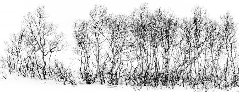A line of trees in the snow with knotted trunks