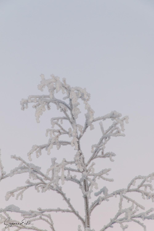 hoar frost on a tree in Sweden