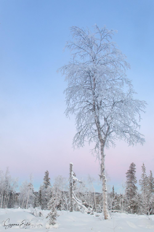 winter tree in Sweden with belt of venus