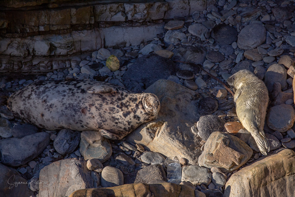 newborn seal pup and mum with plastic bottles on a pebble beach