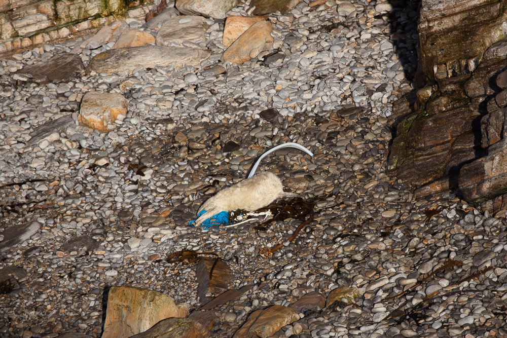 Newborn seal pup curled up with plastic ocean debris and fishing nets