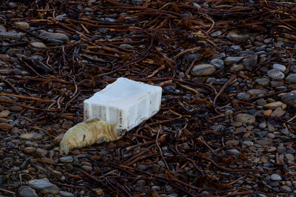 newborn seal pup with a plastic box
