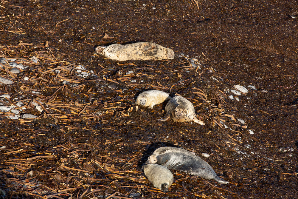 Female seals and their young pups in a seaweed covered pebble beach
