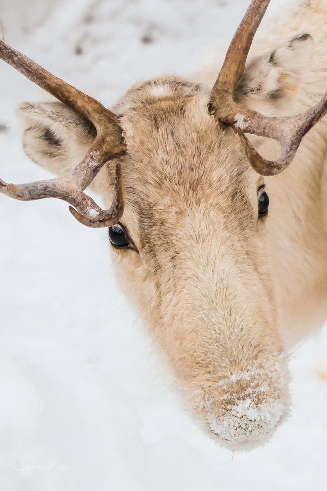 Portrait of a reindeer
