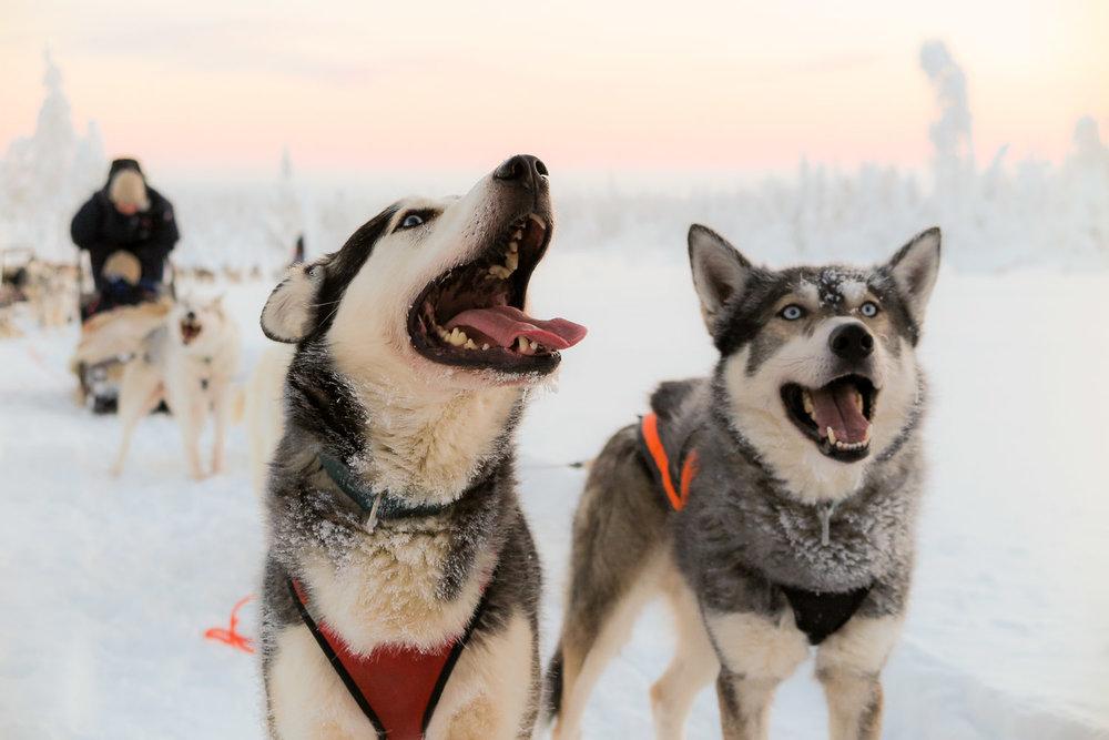 Huskies in Riisitunturi National Park in Finland