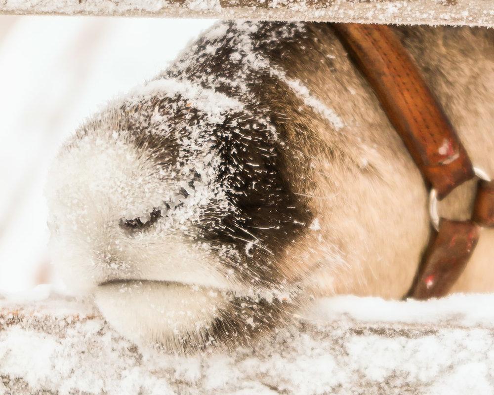 A reindeer in Finnish Lapland