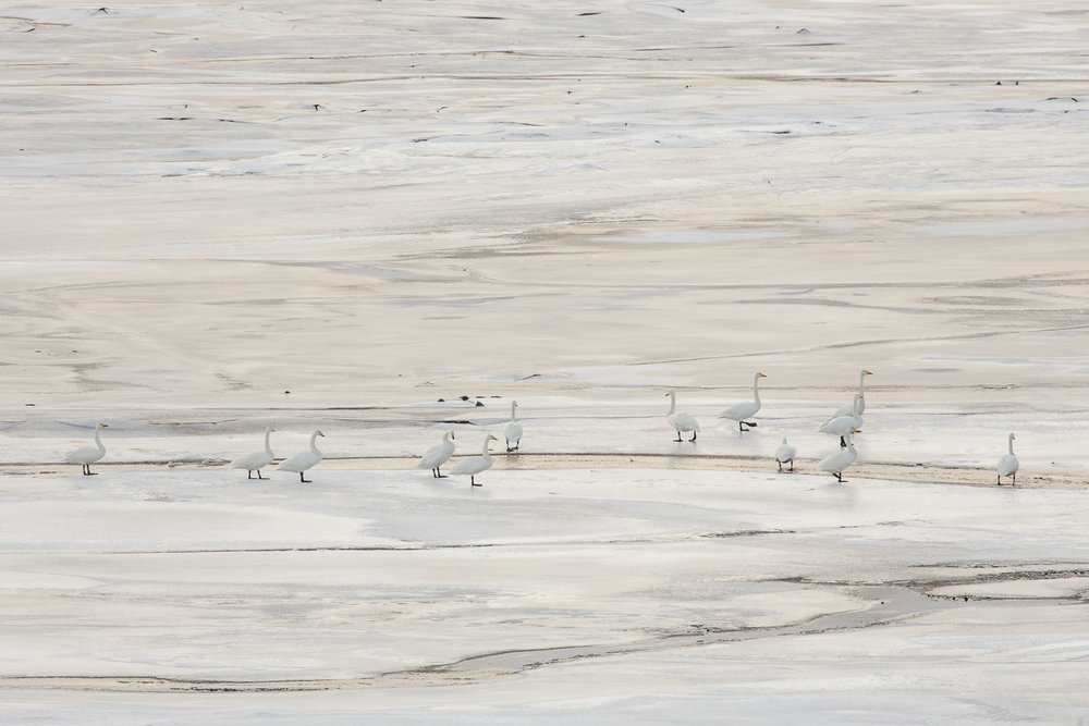 Whooper swans on a frozen loch in Scotland