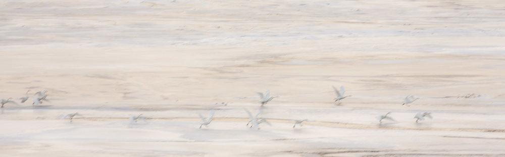 Whooper swans in flight on Loch Glascarnoch in Scotland