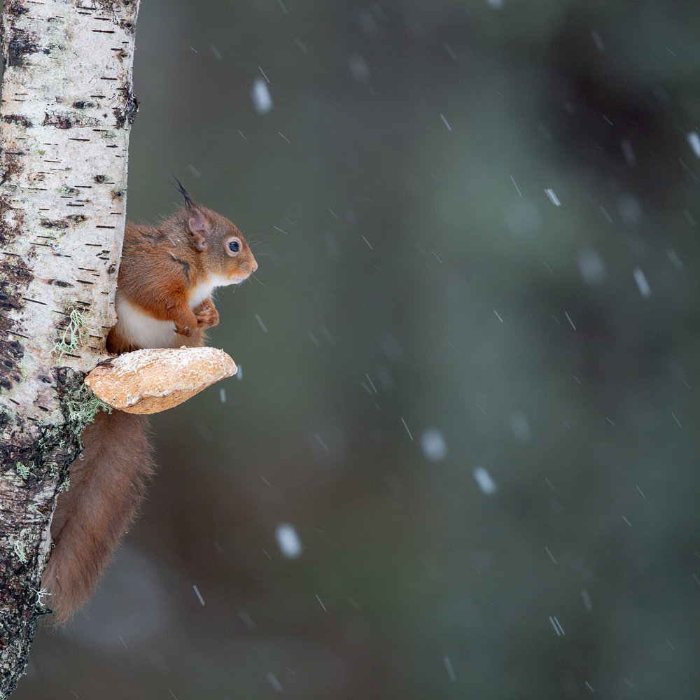 Squirrel on a mushroom