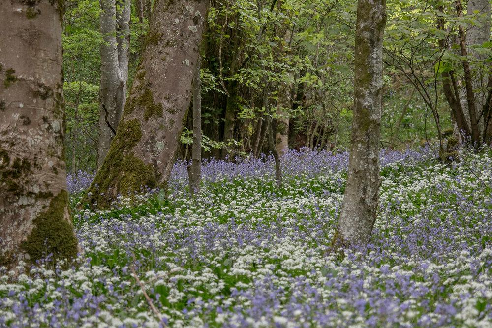 Bluebells at Longwood