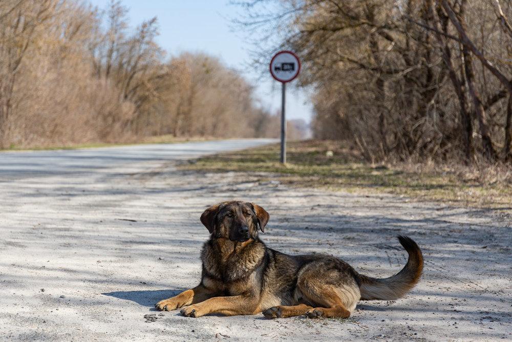 Dog in Chernobyl