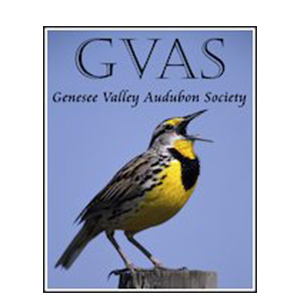 Genesee Valley Audubon Society - Genesee Valley Audubon Society (GVAS) is a chapter of the Audubon Society that serves the western New York region. GVAS focuses on sharing their commitment to and love of birds and wildlife in order to educate and advocate for the protection of the wildlife habitats that they need and caring for the environment. Genesee Land Trust and GVAS partner on projects throughout the year including guided walks, educational programs, and projects that improve habitat for native species.Quick fact: GVAS sponsors R Falcon Cam, a website that shares live streaming video of Peregrine Falcons living in downtown Rochester.Visit the Genesee Valley Audubon website to learn more.             Normal   0               false   false   false      EN-US   X-NONE   X-NONE                                                                                                                                                                                                                                                                                                                                                                                                                                                                                                                                                                                                                                                                                                                                                                                                                                                                                                                                                                                                                                                                                                                                                                                                                                                              /* Style Definitions */  table.MsoNormalTable 	{mso-style-name: