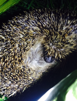 Hedgehog seen at site