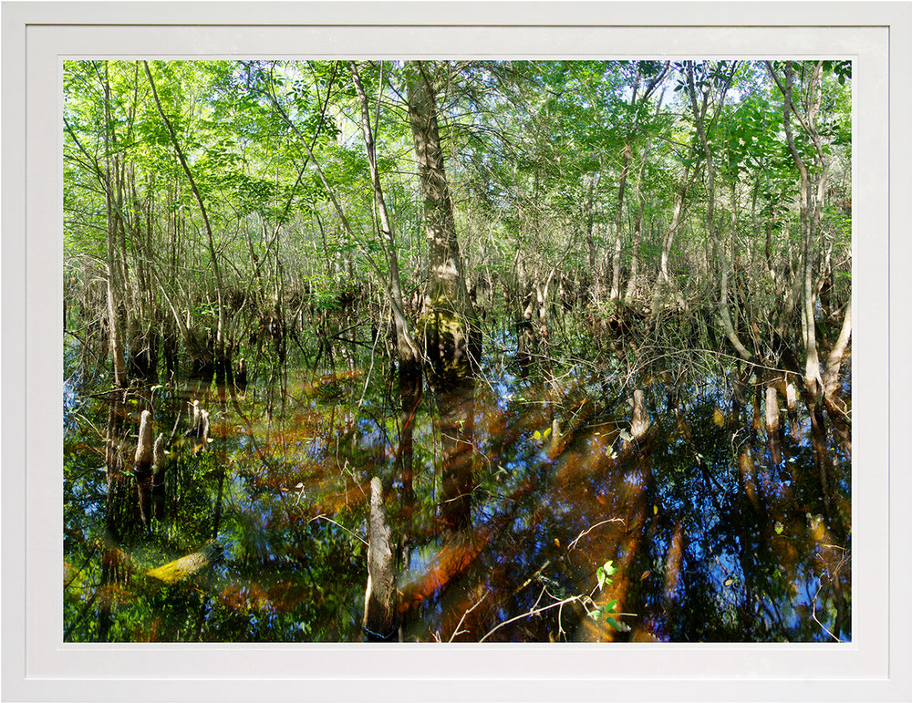 nicholson swamp: francis marion national forest, sc