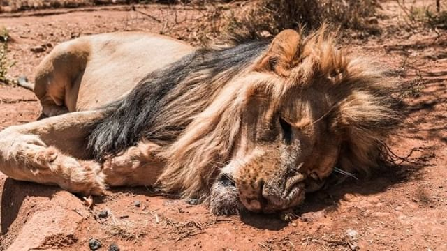 This is how far humanity goes!😢 Over the past 4 Days 45 Lions🦁 have been poached🔫 in the area where the Hakuna Mipaka Oasis is located!😱 What i'm showing you here (in SA) is happening RIGHT NOW and every Day! Please Help me to shine a Light on that 😔🙏🏼 We must show the world🌍 how terrible this is and that we have to love and appreciate these animals and not Kill them for no reason! 😤😡 Share this Video, Tag all your Friends and comment your Thoughts 🙏🏼 #hakunamipaka#poaching#southafrica#lionpoaaching#deanschneider#moderneducation#savewildlife
