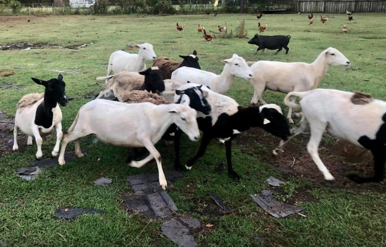 Several agencies collaborated to deliver food and fresh water to livestock stranded during Florence.