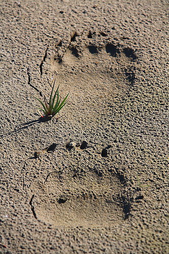 Grizzly tracks.jpg