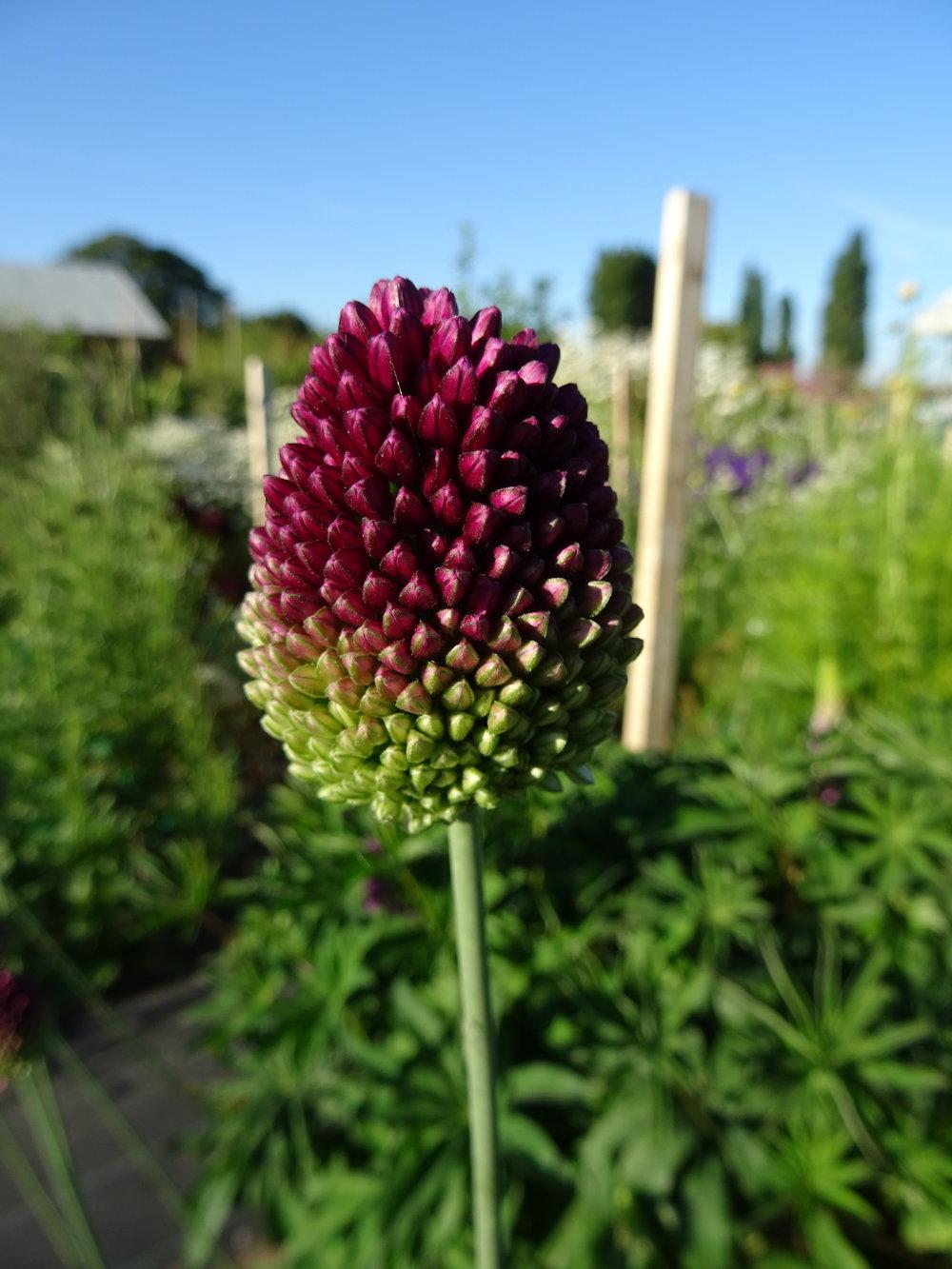 Allium 'Sphaerocaphalon'