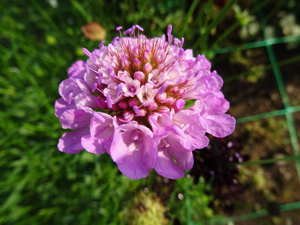Scabious - pink