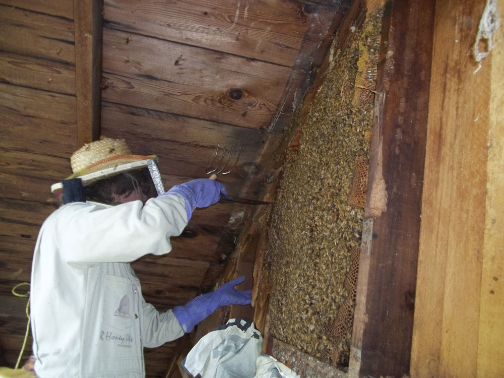 Transfer Comb : Gently cut comb and add to hive frames