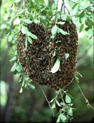 Swarms are free! - Just call us and we will collect them from you!